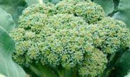 Капуста брокколи, выращивание и уход