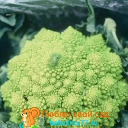 Сорт вярус капусты брокколи