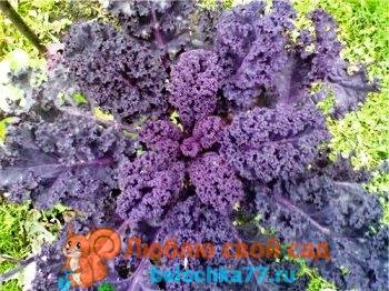 Капуста Кале: полезные свойства, выращивание