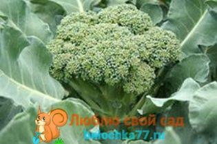 Капуста брокколи, выращивание и уход на урале