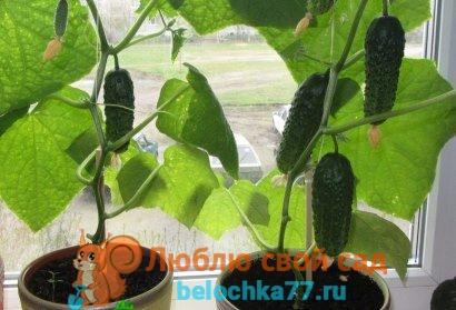 Выращивание огурцов на подоконнике зимой - подкормки, фото