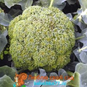 Капуста брокколи - сорт тонус