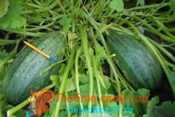 Разновидности тыквы