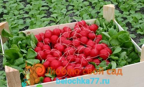 Выращивание редиса зимой на продажу, как бизнес