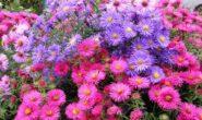Астра альпийская многолетняя: выращивание из семян. Посадка и уход