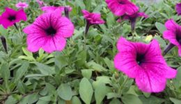 Как посадить петунию на рассаду в домашних условиях. Выращивание рассады из семян