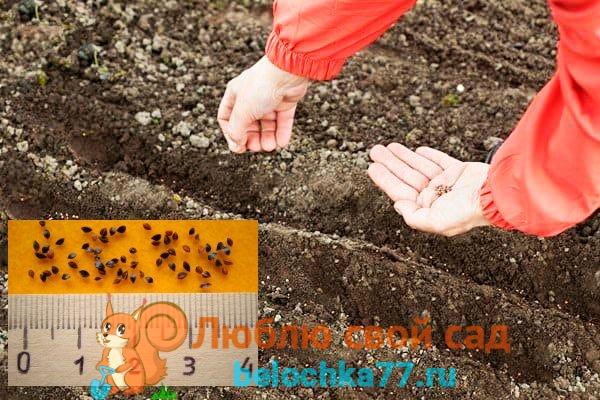 Посев щавеля семенами весной