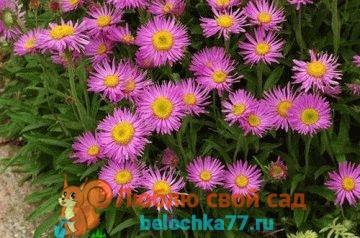 Астра альпийская (многолетняя): выращивание из семян