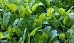 Выращивание щавеля из семян