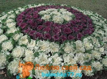 декоративная капуста, выращивание уход