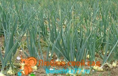 посадка лука севка весной
