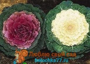 Сорта декоративной капусты