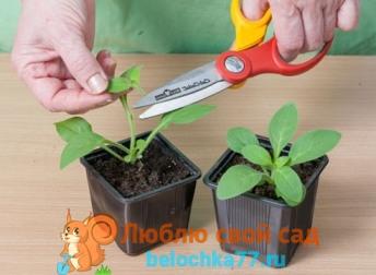 выращивание петунии из семян