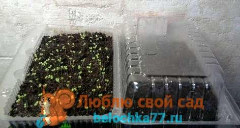 выращивание петунии через рассаду