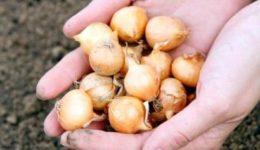 Посадка лука репки весной – выращивание из севка или семян