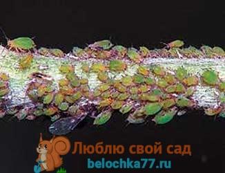 бработка смородины от вредителей