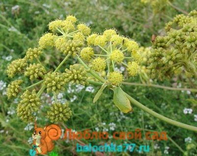 цветы любистока