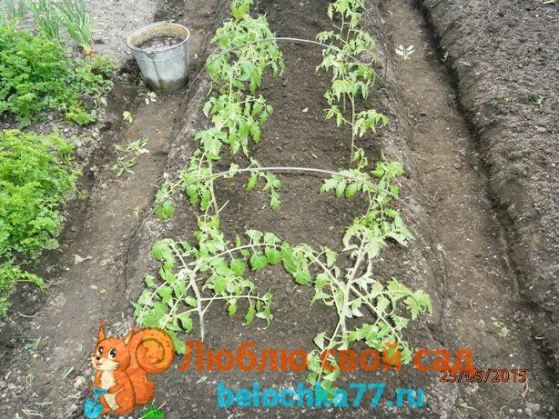 как сеять рассаду помидор