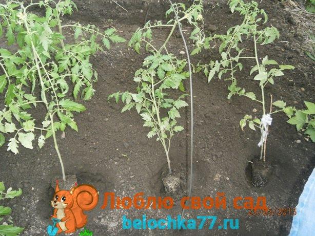 высаживание переросшей рассады помидоров
