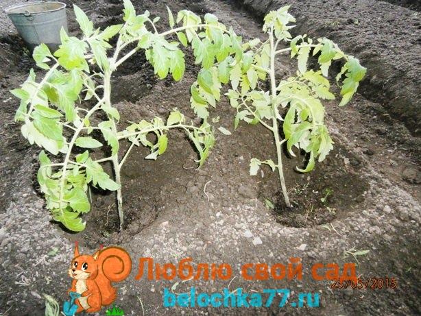 Как высаживать переросшую рассаду помидоров