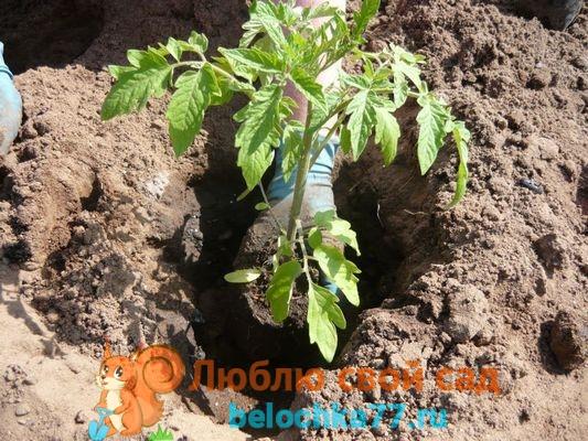 высадка томатов в открытый грунт