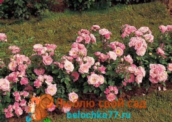 разновидности роз