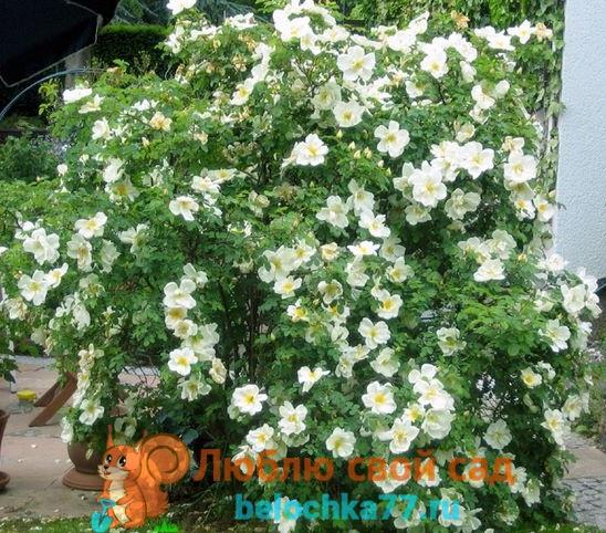 Виды роз с описанием