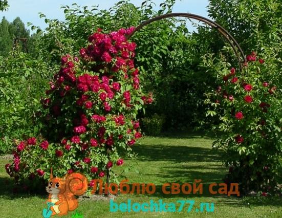 Виды роз с фото и описанием