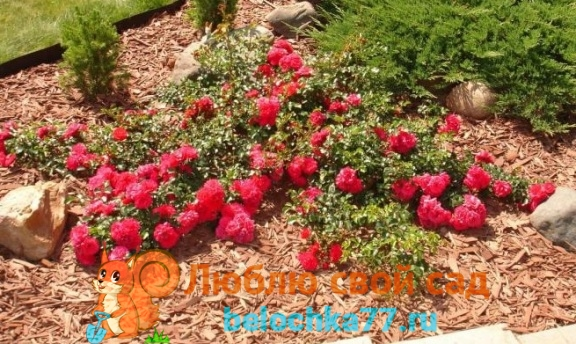 виды роз с фото