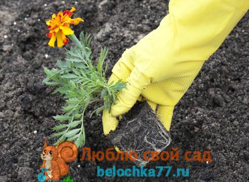 Высадка цветущей рассады в грунт