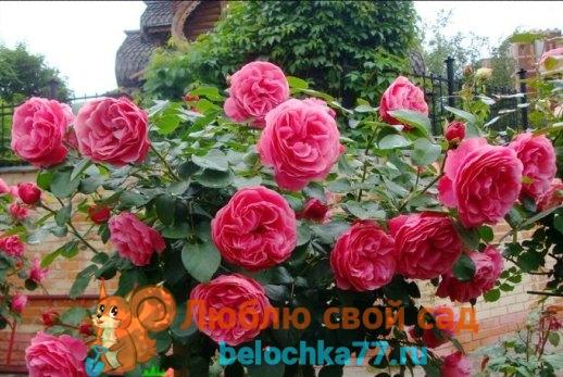 вид роз