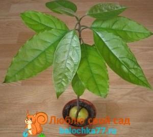 Как вырастить авокадо из косточки в домашних