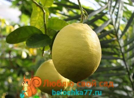 Сорт лимона Юбилейный