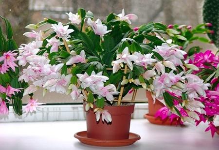 Здоровый цветок декабриста