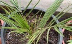 финиковая пальма - выращивание