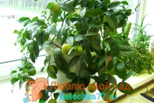 как вырастить лимон