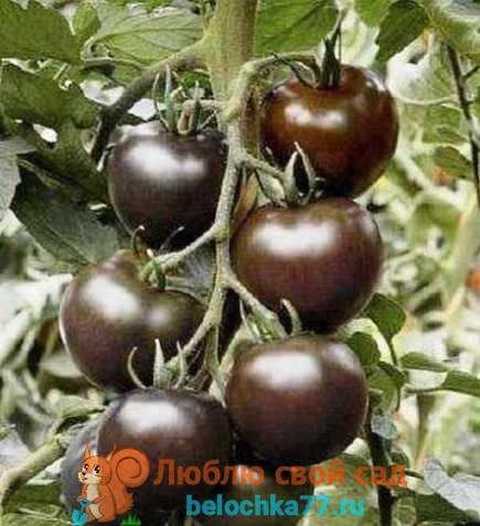 Сорт помидор черного цвета