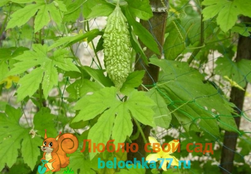 Что за растение момордика
