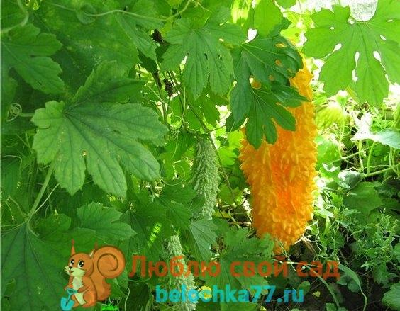 Вертикальное выращивание момордики
