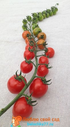 помидоры сорта с фото