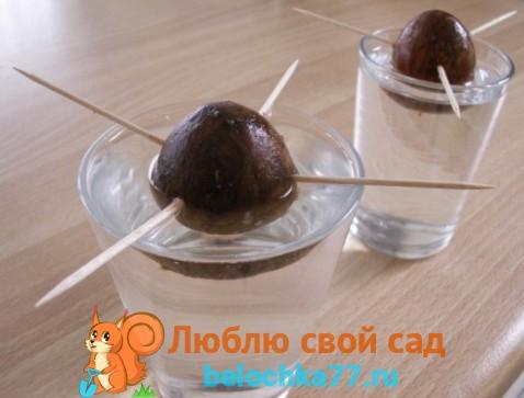 Фото косточек авокадо
