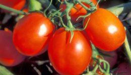 Сорта помидоров с фото и описанием
