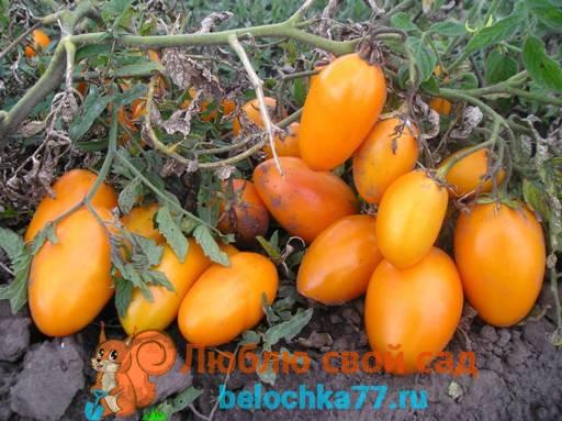 Сорт помидор с фото и названием