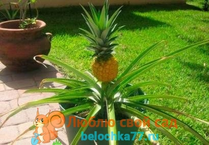 Как вырастить ананас в домашних условиях - посадка, уход из макушки, хохолка. Болезни, цветение и плод