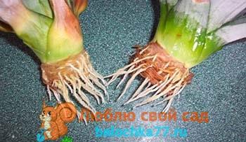 Как посадить ананас дома