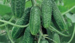 Лучшие урожайные сорта с фотографиями и описанием