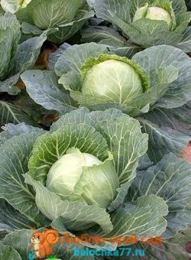 Лучшие сорта капусты белокочанной с фото