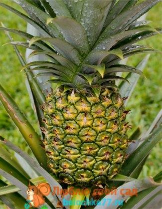 Спеющий плод ананаса