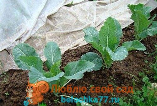 вырастить цветную капусту