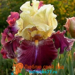 жёлто-бардовый ирис